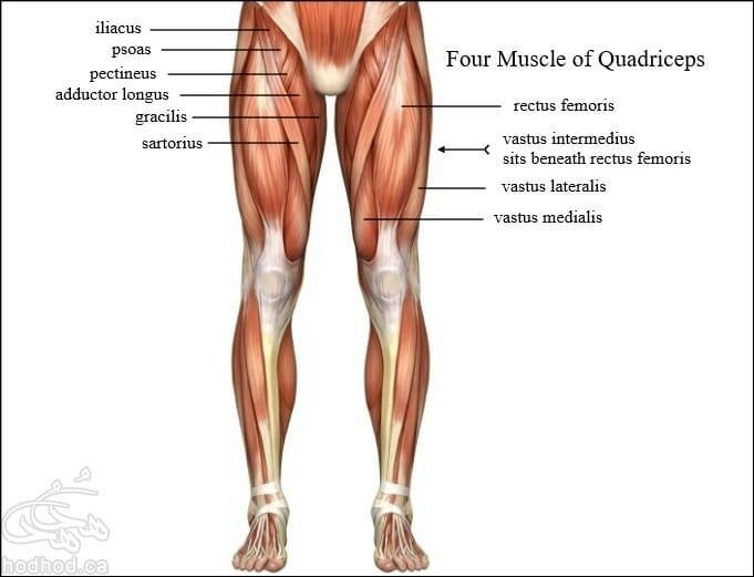 Quadriceps-Anatomy