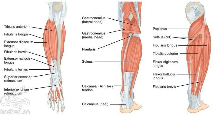 calves-anatomy