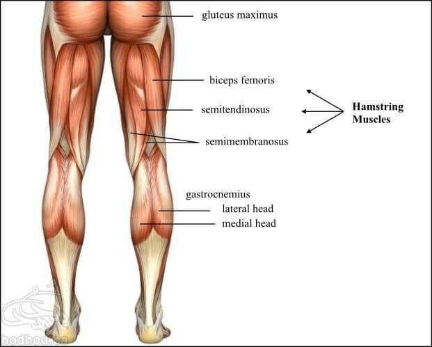 hamstring-anatomy
